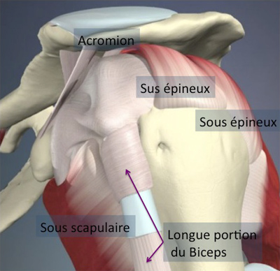 Pathologies et Chirurgies de la Coiffe des Rotateurs - Docteur ...